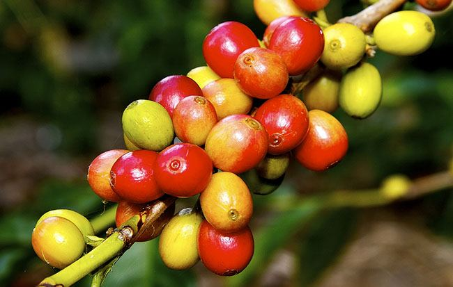 Kona coffee bean